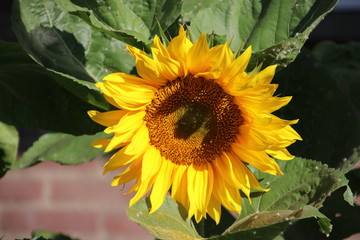 Sunflower in the sun in Nieuwerkerk aan den IJssel the netherlands