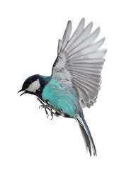 photo of isolated cyan tit in flight