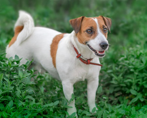 Close-up portrait of adorable small white and brown dog jack russel terrier standing in green grass and looking at right side
