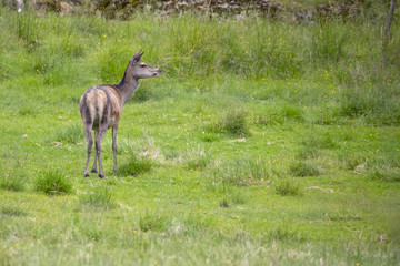 Grassing deer