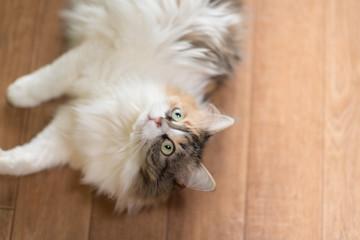 three color Cat top view lying on parquet floor