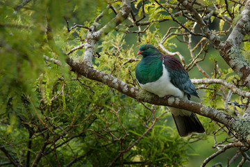New Zealand pigeon - Hemiphaga novaeseelandiae - kereru sitting and feeding in the tree in New Zealand