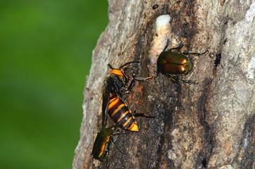 オオスズメバチの女王蜂
