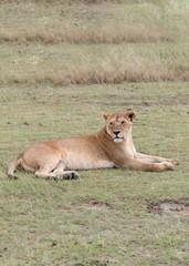 Afrikanischer Löwe, Löwin in der Steppe, Wildkatze