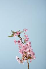 Cerry flower