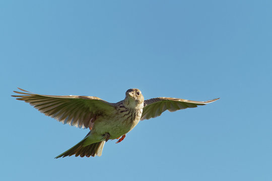 Sky Lark (Alauda arvensis) flying over the field with brown and blue backgrond. Brown bird captured in flight