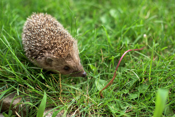 Hedgehog in a grass