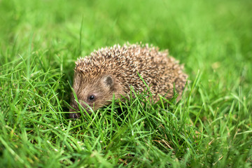 Litlle hedgehog in a garden