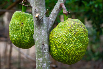 Close up Jack fruit.
