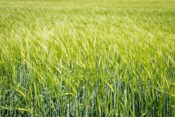 Campo de cereal , verde