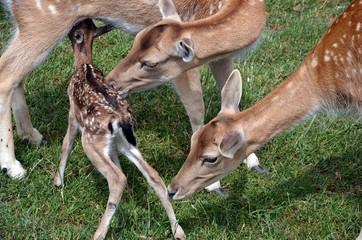 Roe deer in the meadow