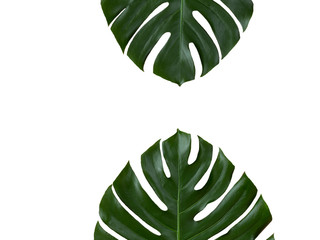 Two tropical monstera leaves isolated on white background.