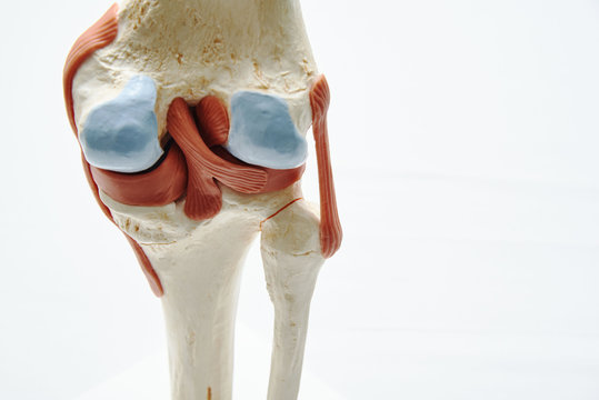 Knee joint model in medical office