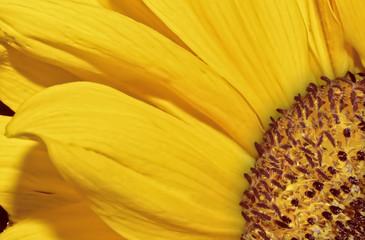 Sunflower head macro