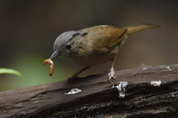 Grey-cheeked fulvetta bird catching