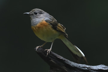 White-rumped shama female bird