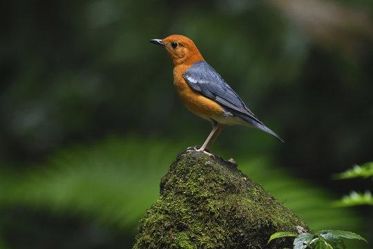 Orange-headed thrush bird China