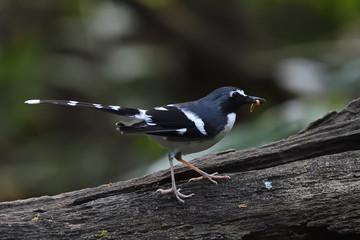 Slaty-backed forktail bird sitting in china