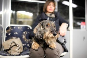 Cane bassotto sul BUS
