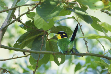 Long-tailed broadbill bird sitting in a tree