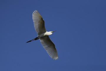 Intermediate egret bird flying