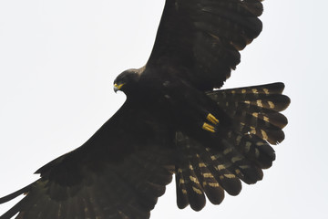 Black eagle flying