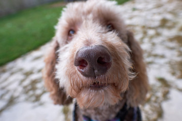 Close Wide Angle view of Labradoodle Face