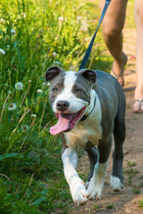 White and Grey colored pitbull pulls the leash with smiley muzzle. Outdoor walking