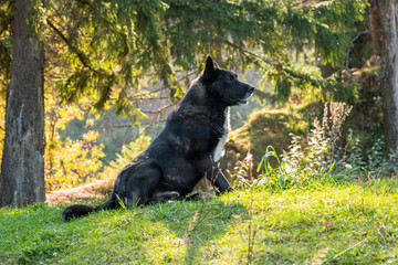Wolfhound sits in a clearing in the woods under spruce. Black colored wolf-dog with white hairs on the chest. Sitting dog on green grass.