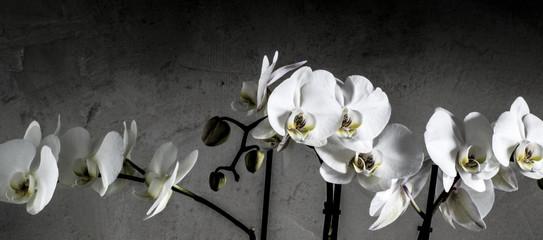 Foto auf AluDibond Orchideen Weiße Orchideen vor Beton