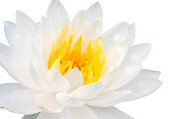 Garden Poster Lotus flower beautiful close up white lotus flower isolate