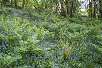 Bluebells in Bigland Woods, Cumbria Coastal Way, Lake District, Cumbria, UK, May 2018