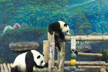 Chiang Mai, Thailand, Giant pandas Lin Hui and Chuang Chuang arrived at the zoo on 12 October 2003, on a 10 year loan. The contract was renewed in 2013.