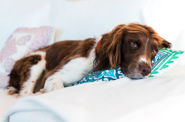 Cute springer dog lying on a pillow, tired, looking at camera