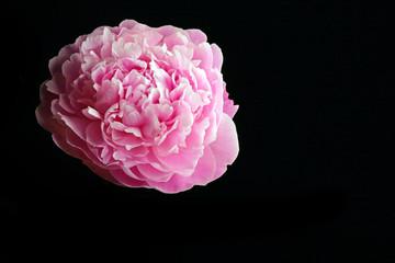 pink pion macro flower