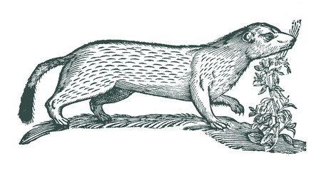 Stoat or short-tailed weasel (mustela erminea) next to a common hemp-nettle or brittlestem hempnettle (galeopsis tetrahit). Illustration after a historic woodcut engraving from the 17th century