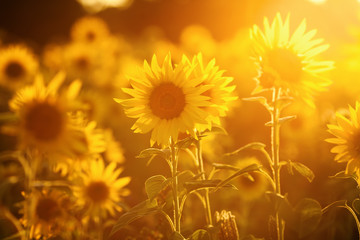 field of sunflowers in evening backlight