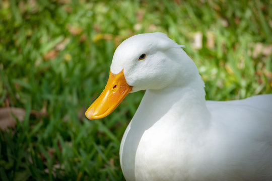 Close up portrait on a pekin duck sitting in grass with eyes open on a sunny day in Florida.
