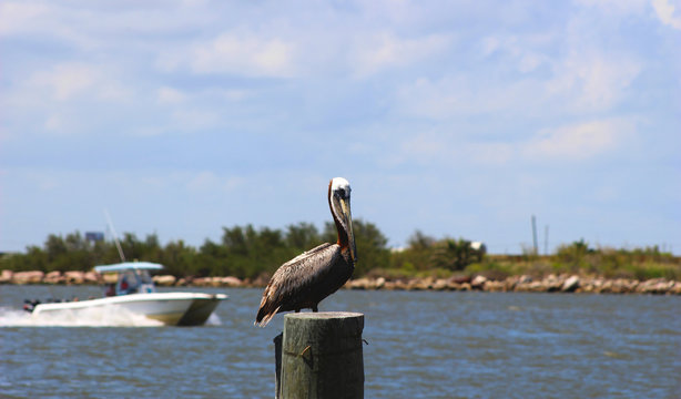 Brown Pelican Standing on Wooden Post in River