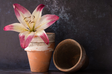 Pink Daylily in Clay Pots