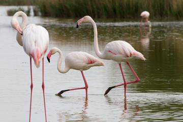 Pink flamingo bird in Camargue, France