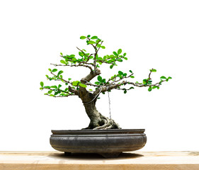 Bonsai in pot on white background