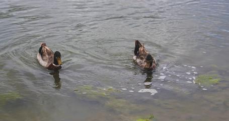Mallard Ducks Swimming in Pond