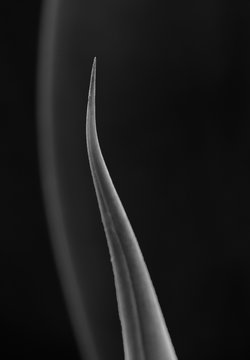 forbidding agave thorn in black and white weston style