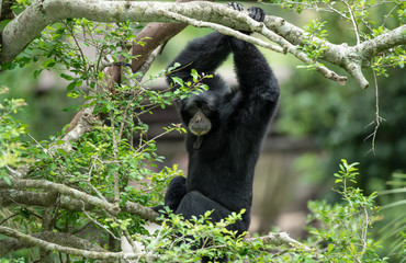 siamang has spotted you