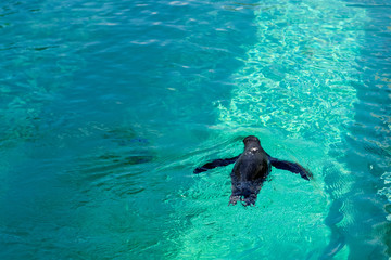 The little gumboldt penguin floats alone in the pool in blue water on a sunny bright day.