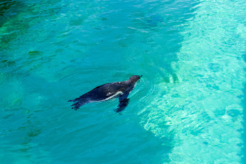 The little gumboldt penguin floats alone in blue water on a sunny bright day.