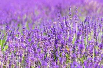 lavender / Sakura lavender land in Sakura city, Chiba prefecture