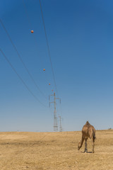 Camel in the Negev desert