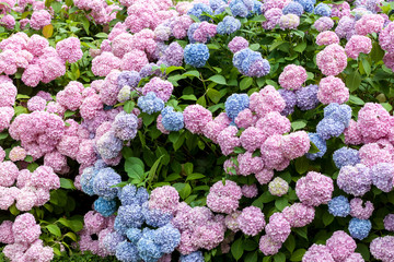 colorful blooming hydrangea background